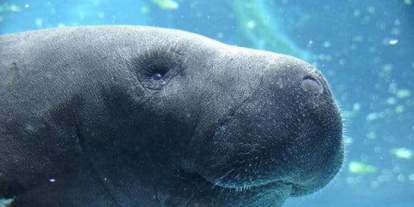 DNA could help locate endangered manatees