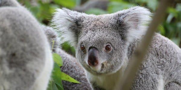 Australia uses DNA testing for wildlife emergencies